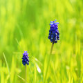 Muscari flower in the green grass Stock Image