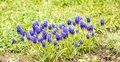 Muscari flowers in green meadow grape hyacinth Stock Images