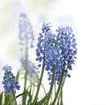 Muscari flowers on white background Royalty Free Stock Image