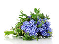 Muscari - hyacinth Stock Photos