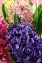 Muscari Hyacinth blossoms Stock Photo