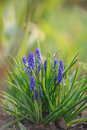 Muscari hyacinth in a spring garden Royalty Free Stock Photo