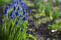 Muscari Hyacinthus blue flowers with green leaves closeup growing in the garden. The natural background.