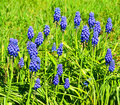Muscari in spring blooming in the garden Royalty Free Stock Photography