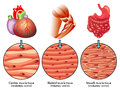 Muscle tissue medical illustration of the various types of Stock Image