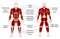 Muscles Chart Description Muscular Body Man