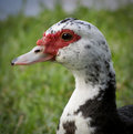 Muscovy Duck Royalty Free Stock Images