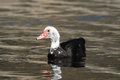 Muscovy duck cairina moschata on a dark black water Royalty Free Stock Images