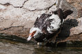 Muscovy duck carina moschata on the lake shore Royalty Free Stock Photography
