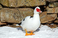 Muscovy duck a domestic male walking on snow covered ground Royalty Free Stock Images
