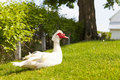 Muscovy duck in the farm Royalty Free Stock Photo