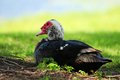 Muscovy duck in grass lying on the the shade south florida Stock Images