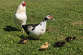 Muscovy duck guarding ducklings on spring meadow Royalty Free Stock Image