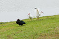 Muscovy duck and ibis taken in florida Stock Photo