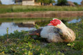 Muscovy duck, male Royalty Free Stock Photo