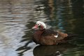 Muscovy duck on a pond cairina moschata standing Stock Image