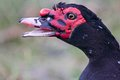 Muscovy duck portrait of an aggressive Stock Photography
