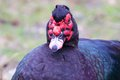 Muscovy duck portrait closeup of an ugly with a red face Stock Photo