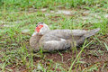 Muscovy duck with red head is sleeping falls asleep the picture was taken in usf campus florida usa Stock Photos