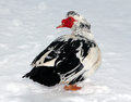 Muscovy duck in the snow closeup Stock Photo