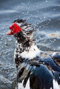 Muscovy Duck in water Royalty Free Stock Photos