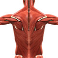 Muscular anatomy of the back illustration d render Stock Photos