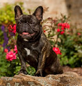 Muscular French Bulldog Royalty Free Stock Photography