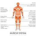 Muscular system vector illustration of diagram of Stock Photography