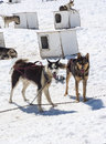 Musher camp husky dogs mendenhall glacier juneau ice field alaska travel destination Royalty Free Stock Photography