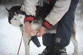 Musher and his dog a is putting the boots on sibirian husky for the next trip it is important to take care of the paws for snow Royalty Free Stock Image