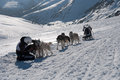 Musher and  his dogsled on comb mountains Royalty Free Stock Image