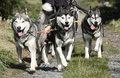 Musher Race Stock Photography