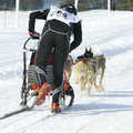 Musher and sportive dogs Royalty Free Stock Photo