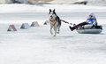 Mushing at baikal fishing yartsi russia april a siberian husky dog pulls an identified girl on a tube on ice apr yartsi buryatia Royalty Free Stock Photography