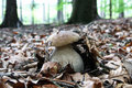 Mushrom boletus Royalty Free Stock Photo