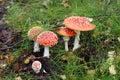 Mushroom Amanita Stock Photography