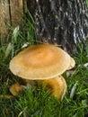 Mushroom Armillaria Mellea or Honey-mushroom Stock Image