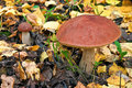 Mushroom in the autumn forest. Stock Photo