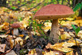 Mushroom in the autumn forest. Stock Image