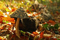 Mushroom in autumn forest Royalty Free Stock Image