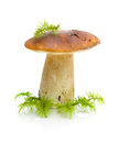 Mushroom (Boletus dulis) on a white background Royalty Free Stock Photos