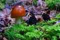 Mushroom in conifer forest scenery close up of a tiny wet and shiny growing on the ground of a Royalty Free Stock Photography