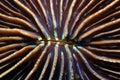 Mushroom coral close up of Royalty Free Stock Image