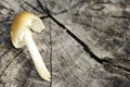Mushroom on cut trunk coprinellus tree mycology background Stock Photography
