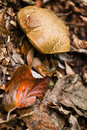 Mushroom and fallen beechleaves Stock Photos