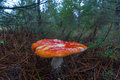 Mushroom fly agaric red amanita muscaria wet from the rain on the floor of a pine forest Royalty Free Stock Images