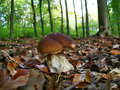 Mushroom funghi appetizing autumn background beech boletus brown Royalty Free Stock Image
