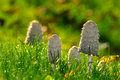 Mushroom among the grass Royalty Free Stock Photo