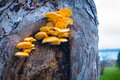 Mushroom growing on a tree yellow mushrooms by the sea Stock Photos