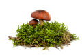 Mushroom isolated fresh forest in a green moss on white background Royalty Free Stock Photos